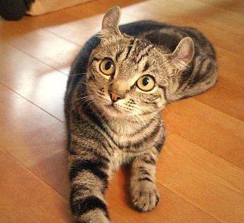 American Curl kattunge