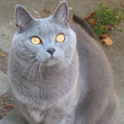 Chartreux grå