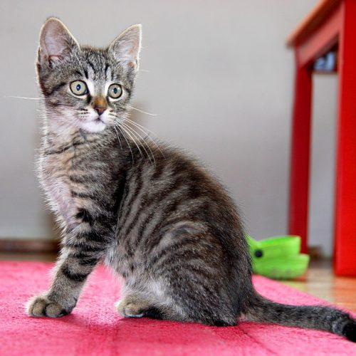 Kitten Sitting Cat Domestic Cat Pet