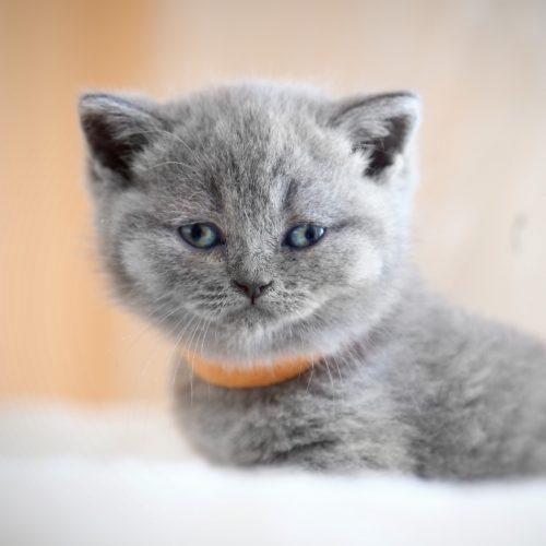 brittisk-korthar-kattunge