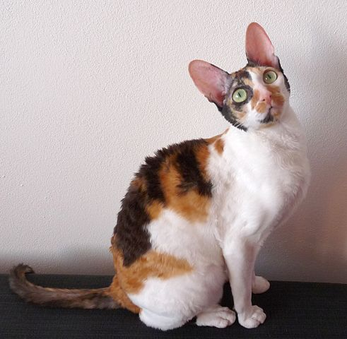 cornish rex vitbrunsvart