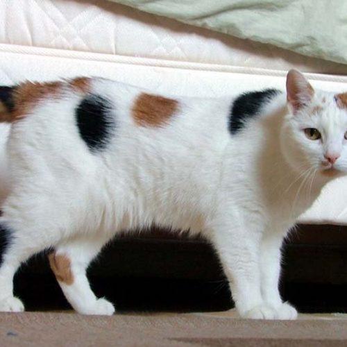japanese bobtail katt