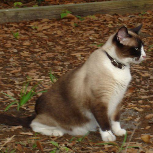 snowshoe katt