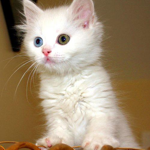 turkisk van kattunge