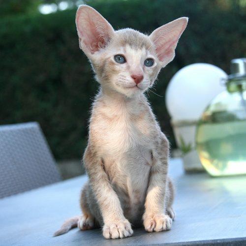 Oriental Shorthair Cute Kitten Wait Sit Cat Sweet