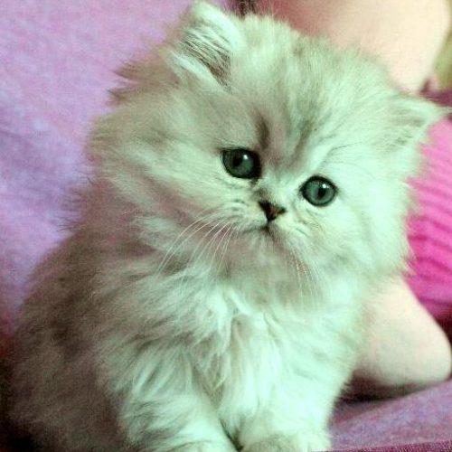 Perser kattunge