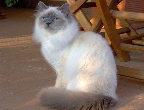 blåmaskerad helig birma