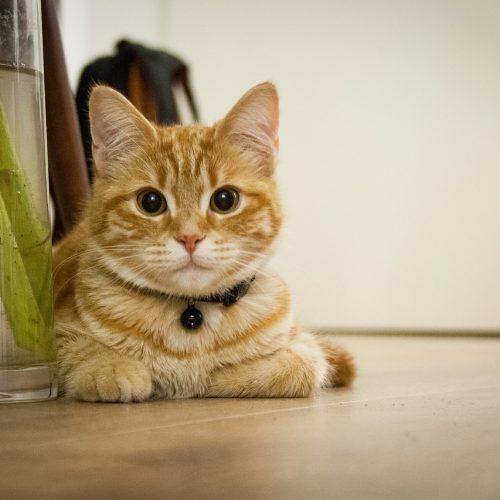 Cat Hangover Young Cat Kitten Cats House Cat Pats