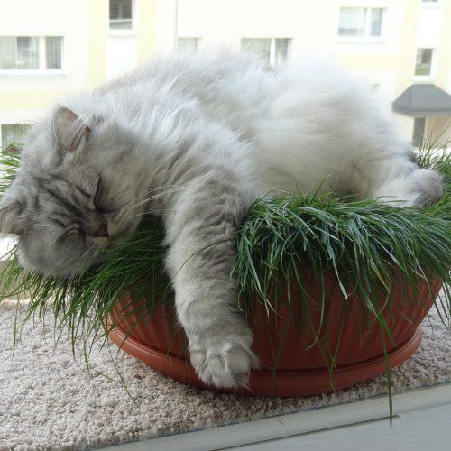 Cat Cute Domestic Cat British Longhair Cat Adidas