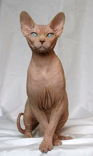 sphynx katt 2