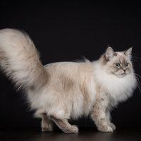 testhem sibirisk katt