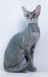 peterbald katt
