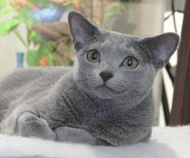 russian blue katt