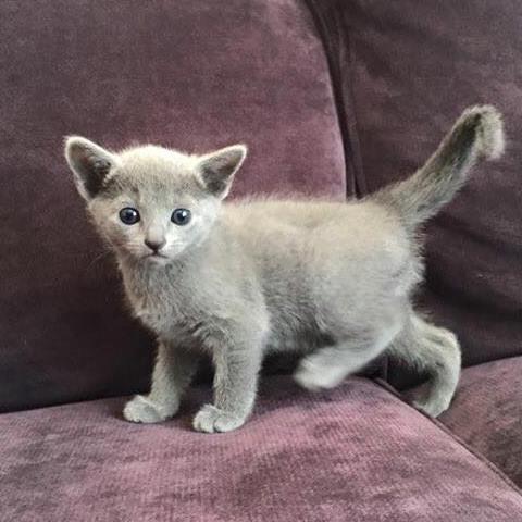 russian blue kattunge