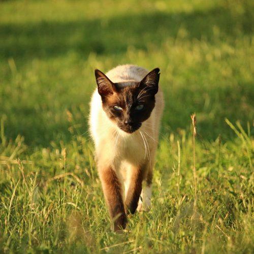 Mieze Siamese Kitten Cat Siamese Cat Breed Cat