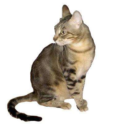sokoke katt